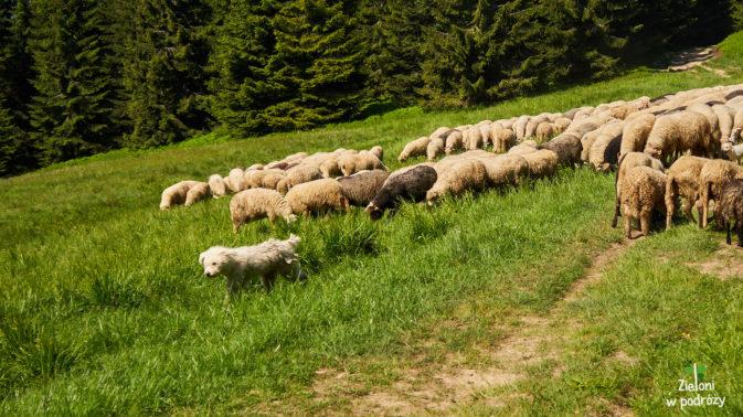 Owce i ich stróż