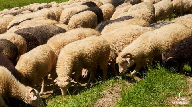 Owieczki na szlaku