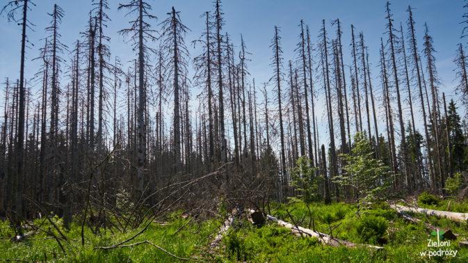 W niektórych miejscach las jest doszczętnie zniszczony