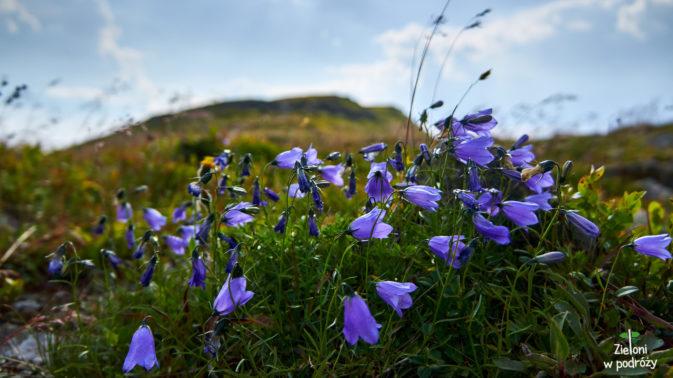 Kwiaty na zboczach potargał wiatr. Szczyt Babiej Góry w tle.