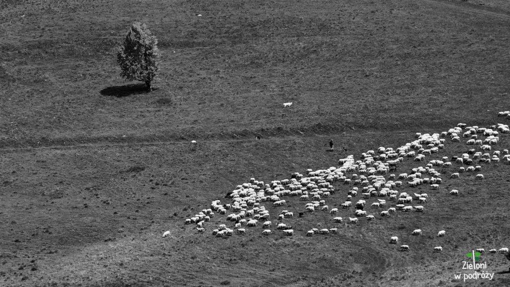 Wiosna w Pieninach i wypasające się owce