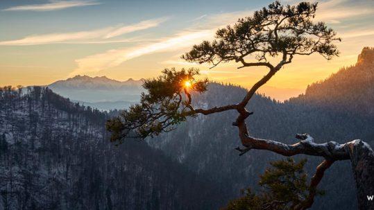 Sosna na Sokolicy i zachód słońca.