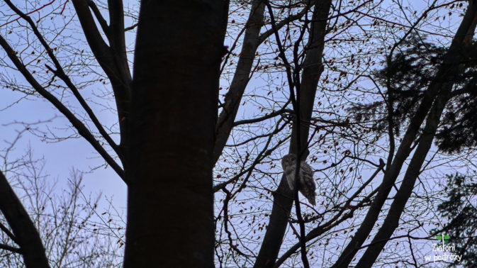 Sowa widziana już po zachodzie. Jakimś cudem udało się jej zrobić zdjęcie