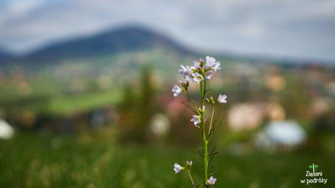 Beskidzkie łaki porastają już kwiaty