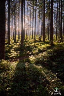 Poranek w lesie. Maszeruje się świetnie