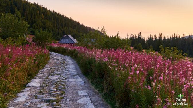 Wierzbówka Kiprzyca pięknie zdobi krajobraz. To te różowe kwiaty