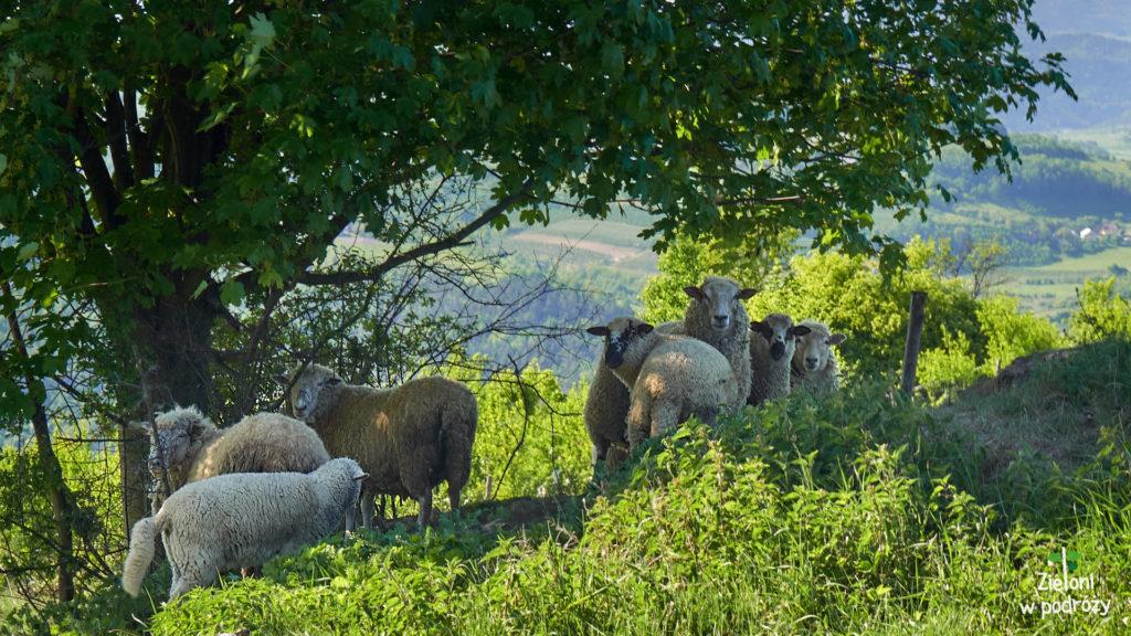 Owce były podejrzliwe